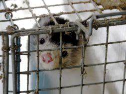 Rõivakett-Zara-liitus-karusnahavabade-kaupluste-ridadega.jpg