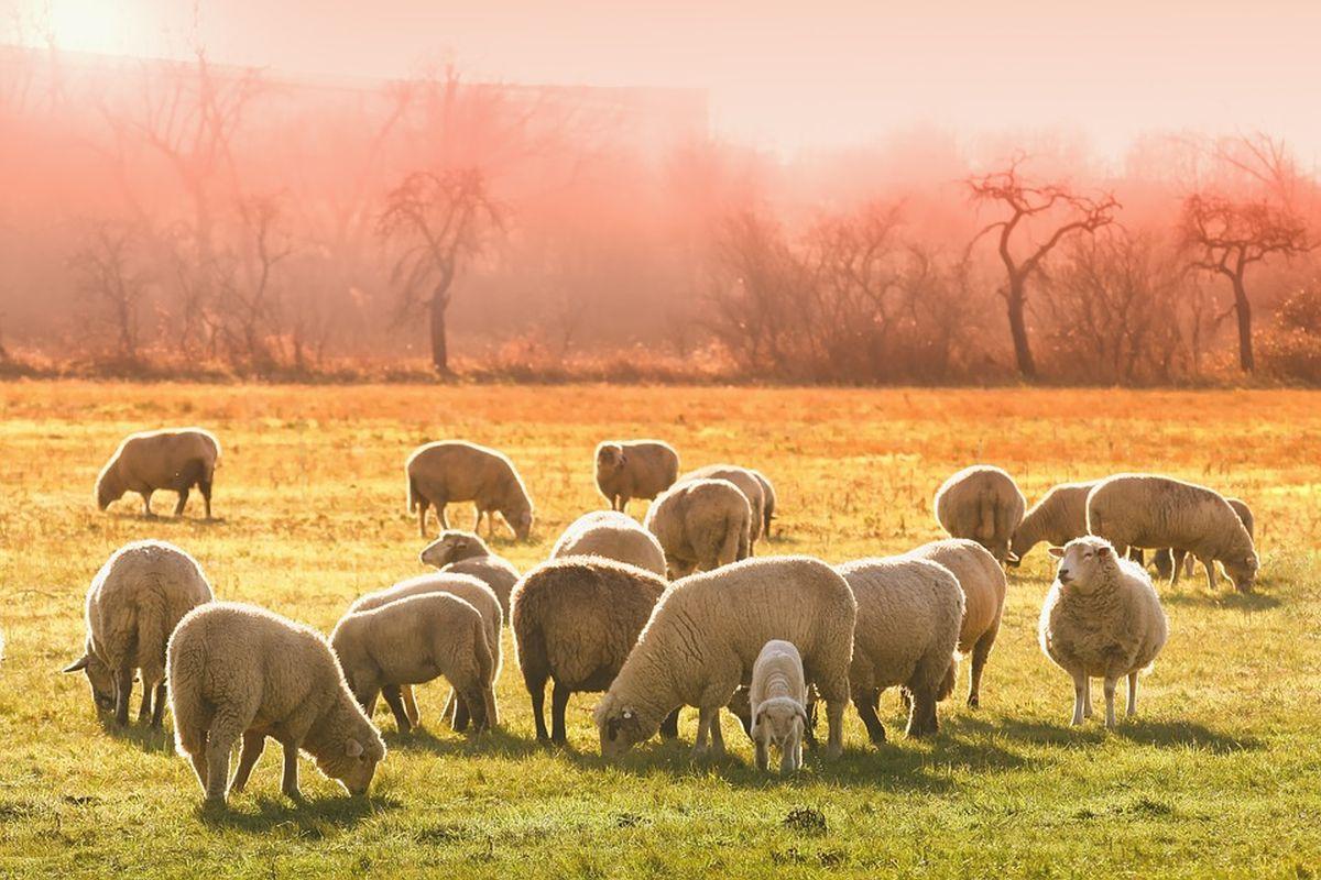 lambad-põllumajandus