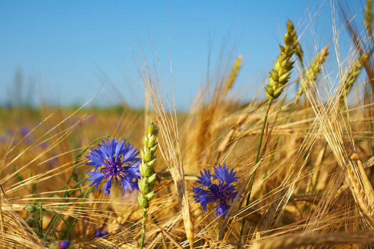 Yellow,Grain,And,Rye,And,Cornflower,,Estonia