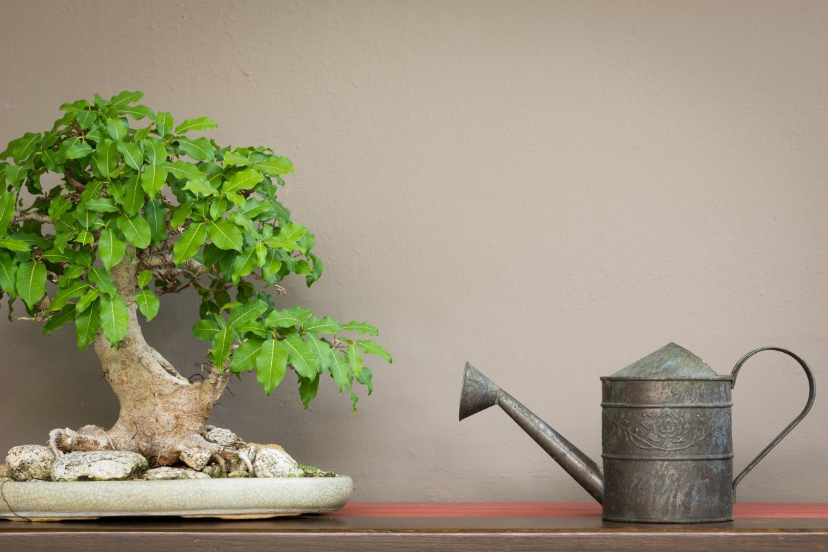 Close,Up,Vintage,Style,Watering,Can,And,Bonsai,Tree,On