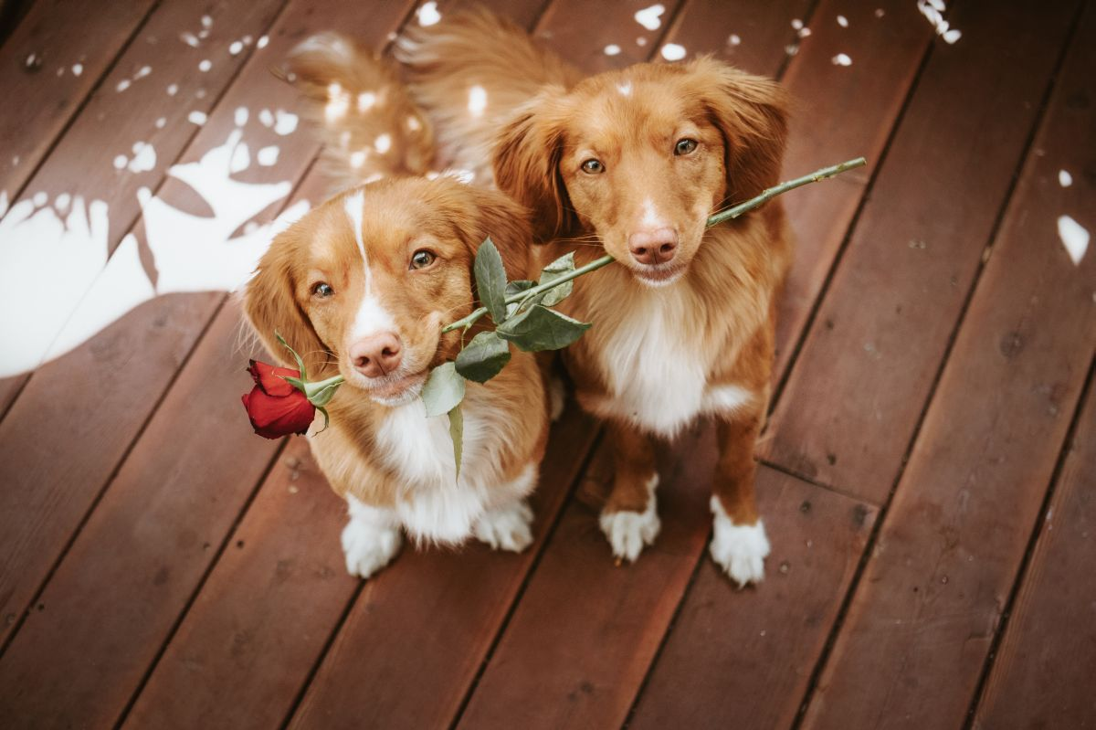 Two,Cute,And,Adorable,Nova,Scotia,Duck,Tolling,Retriever,Dogs