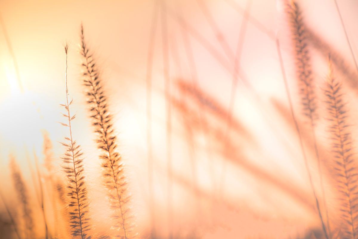 Blurry,Background,Of,Feather,Pennisetum,,Mission,Grass,In,Orange,Vintage