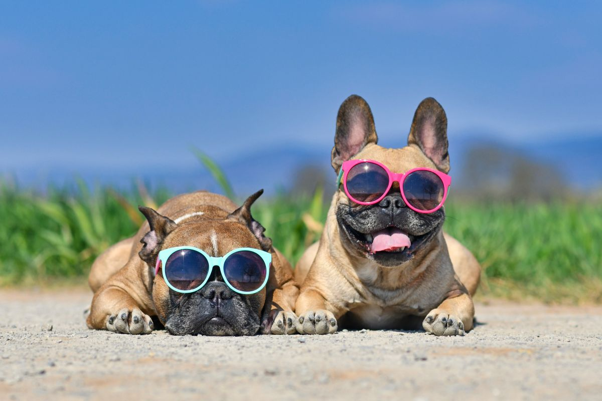 Adorable,Cute,Happy,French,Bulldog,Dogs,Wearing,Sunglasses,In,Summer
